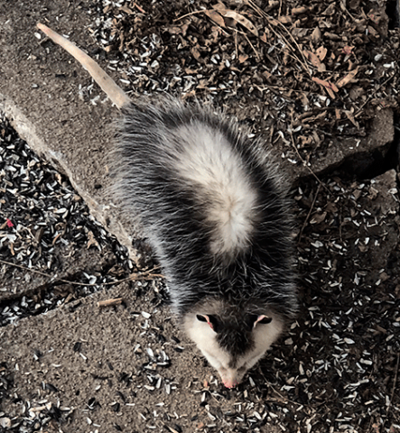 possum-canton.png