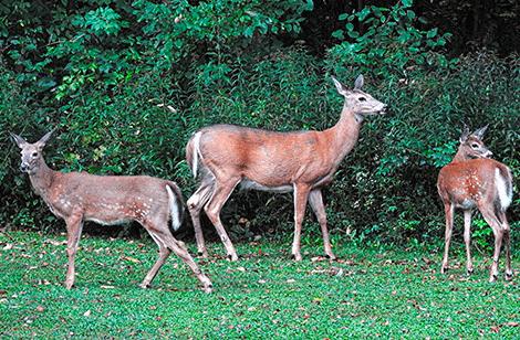 three-deer-canton.png