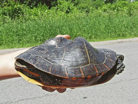 turtle-dekalb.png