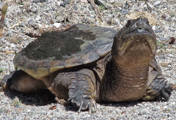 SNAPPING-TURTLE.png