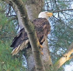 Waddington-eagle.png