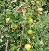 Apples-parishville.png