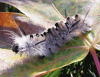Black-Lake-caterpillar.png