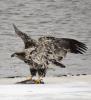 Black-Lake-eagle.png