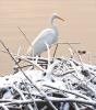 Black-Lake-egret.png