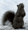 Black-squirrel-canton.png