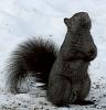 Black-squirrel-canton.png
