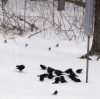 Blizzard-birds-Canton.png