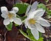 Bloodroot-Canton.png