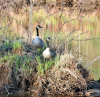 Canton-Canada-geese.png