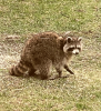 Canton-Coon.png