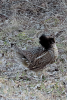 Canton-Ruffled-Grouse.png