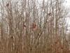 Canton-ash-robins.png