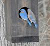 Canton-bluebirds.png