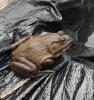 Canton-bullfrog.png
