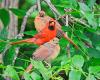 Canton-cardinal-family.png