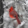 Canton-cardinal.png