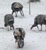 Canton-cold-turkeys.png