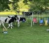 Canton-cows-having-fun1.png