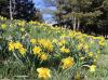 Canton-daffodils-at-SLU.png