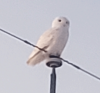 Canton-owl.png