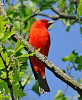 Canton-scarlet-tanager.png