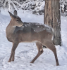Canton-snow-deer.png