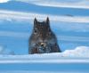 Canton-snow-squirrel.png