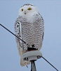 Canton-snowy-owl.png