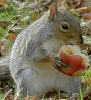 Canton-squirrel-apple.png