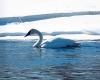 Canton-swan-aldrich.png