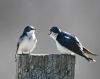 Canton-tree-swallows.png