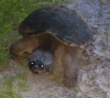 Canton-turtle.png