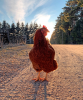 Chicken-Pierrepont.png
