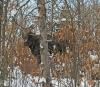 Childwold-moose.png