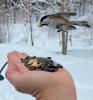 Colton-chickadees.png