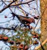 Colton-grosbeaks.png