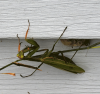Edwards-Mantis.png