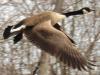 Flying-goose-DeKalb.png