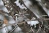 Fowler-Chickadee.png