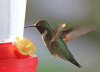 Fowler-hummingbird.png
