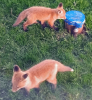 Fox-kits-Canton.png