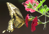 Giant-Swallowtail-butterfly-Canton.png