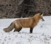 Gouverneur fox.png