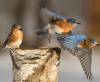 Gouverneur-bluebirds.png