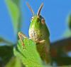 Grasshopper-Massena.png