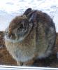 Hannawa-rabbit.png