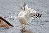 Hannawa-snow-goose.png