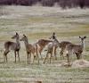 Hermon-deer.png