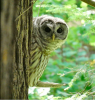 Hermon-owl.png